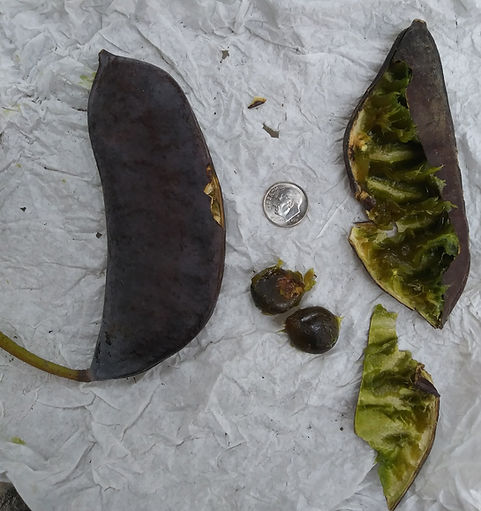 coffee tree seeds crop.jpg