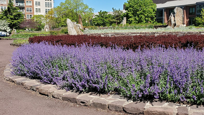 catmint may 9.jpg
