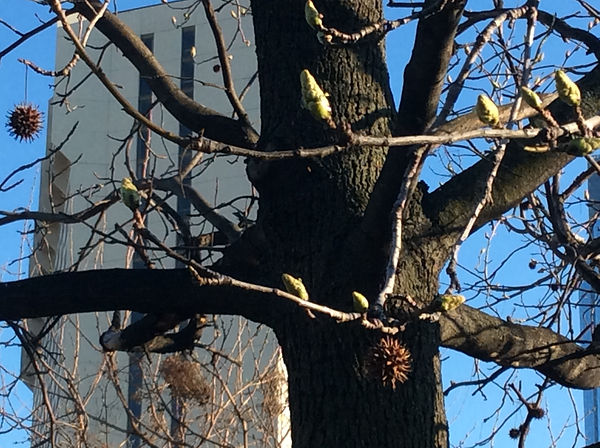 sweetgum buds april.jpeg