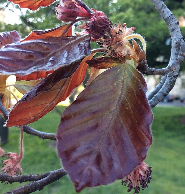 copper beech flowers.jpeg