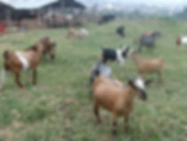 Goats and cows in Cibitoke.jpg