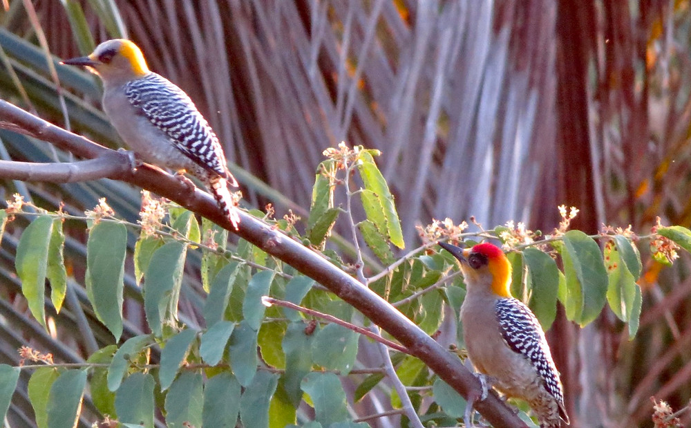 Golden Cheeked Woodpecker.  Photo by John P. Murphy