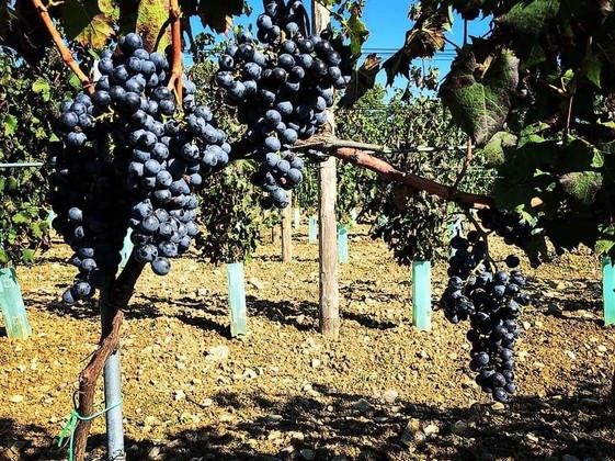 Festasio Grapes
