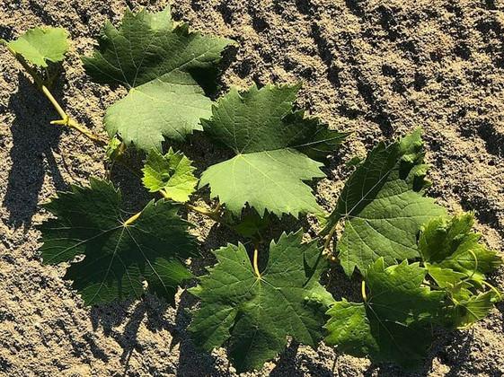 Festasio Leaves