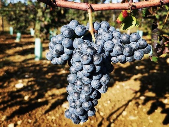 Festasio Ready for Harvest