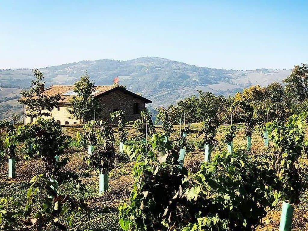 New Festasio Vineyard