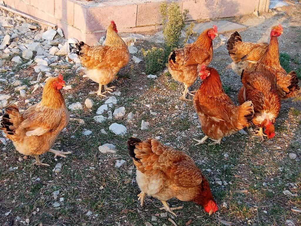 Happy Chicks !