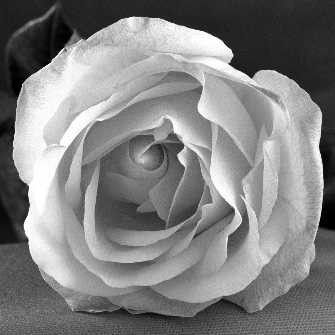 Como una Rosa