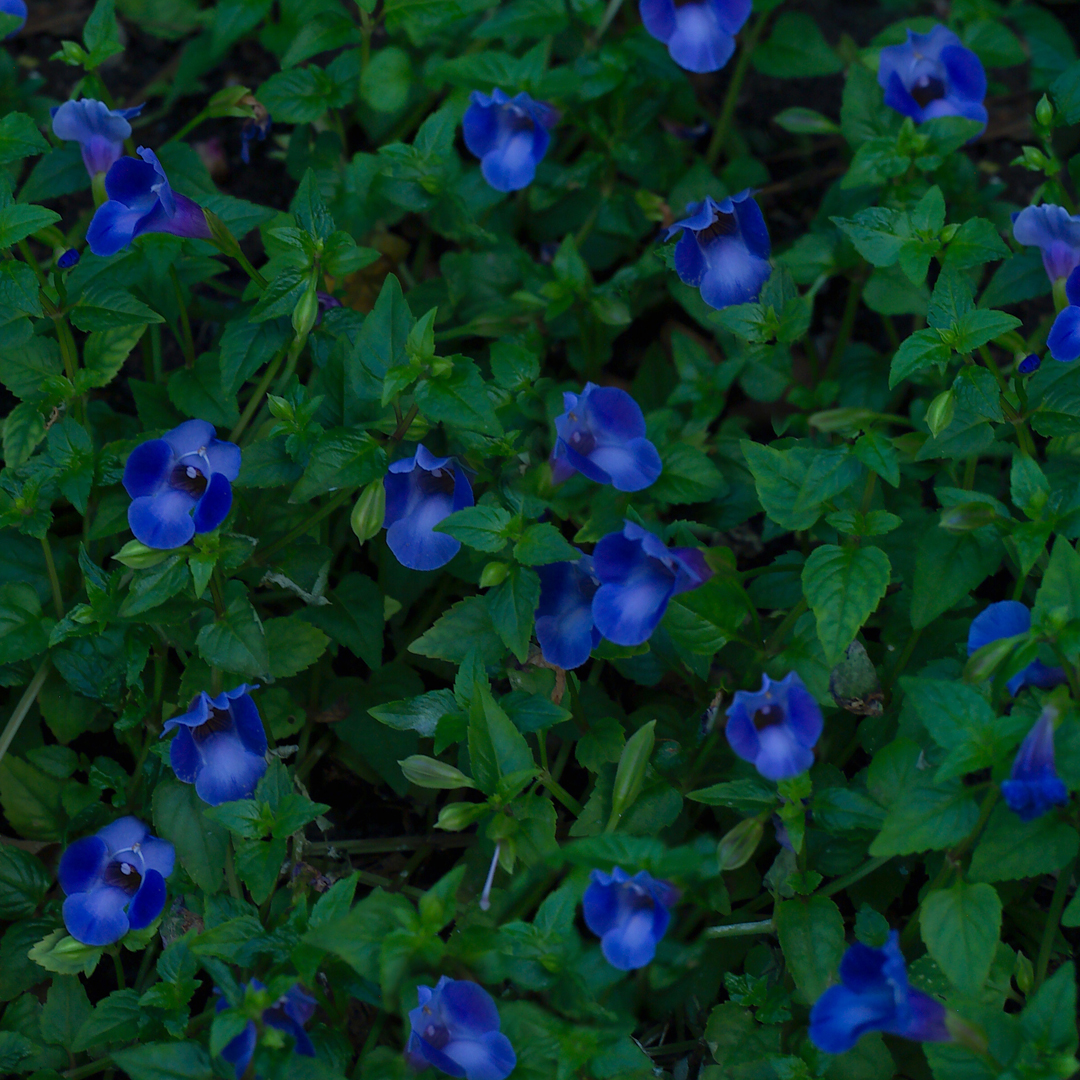 Flores Alegres