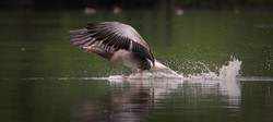 the annoyed gray goose