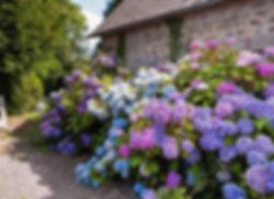 Hydrangea macrophylla Jardins d'Auge