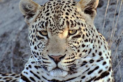 Hosana_Male_Leopard.jpg