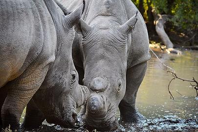 Khaya Ndlovu_Rhino