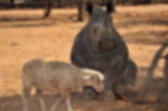 Orphaned Rhino with sheep friend