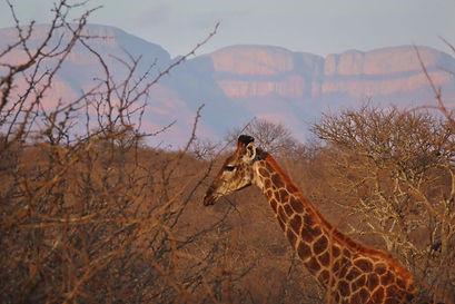 Khaya Ndlovu_Giraffe with Mountains