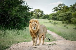 Lion_1.jpeg
