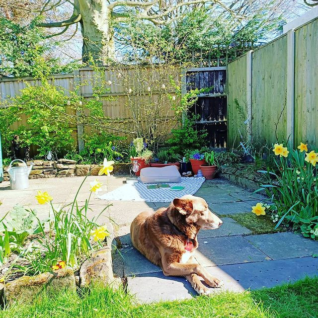 Dog laying in the sun in the foreground, in the background is a rug with books scattered about, and a cushion. There are plants in pots, and this area is surrounded by beds with many spring flowers in it