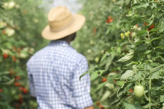 RODMAC proveedor de jitomate saladette en mexico