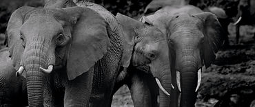 grayscale%20photo%20of%202%20elephants_e