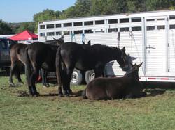 10draft-mules
