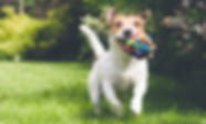 Hunden løper med leketøy