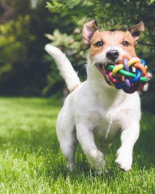 Hund mit Spielzeug läuft