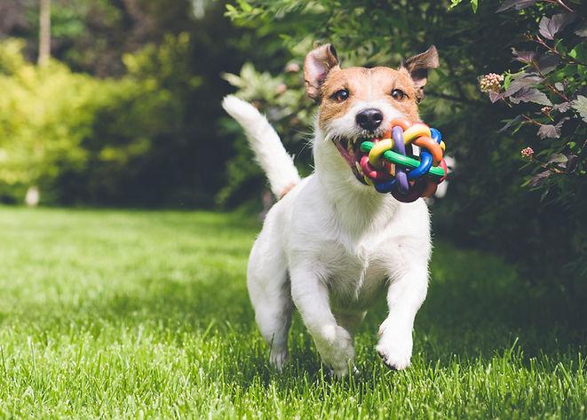 cane che corre con il giocattolo