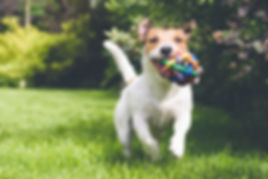 dog running with toy