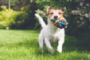 corriendo con el juguete de perro