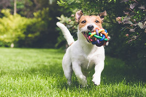 Jack Russel Terrier Ball Playing