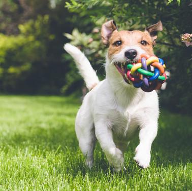 Baton rouge pet emergency dog running with toy