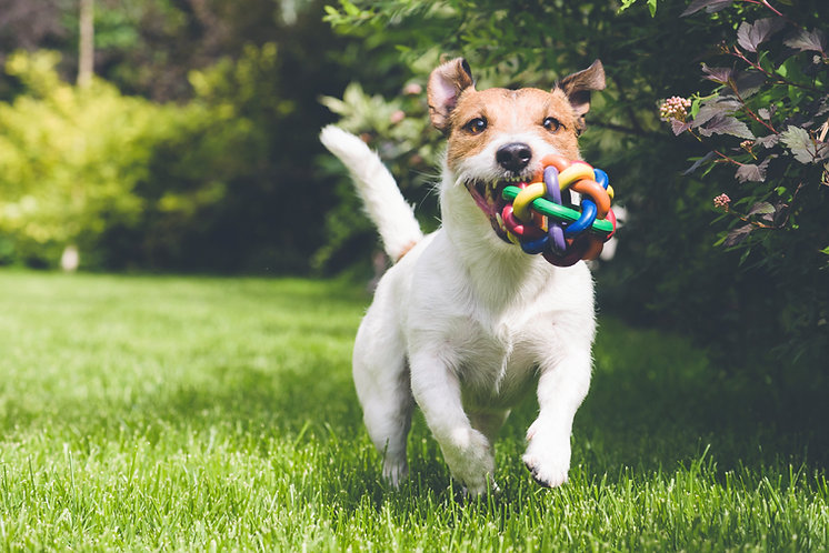 Jack Russell Terrier running toward camera with toy in mouth