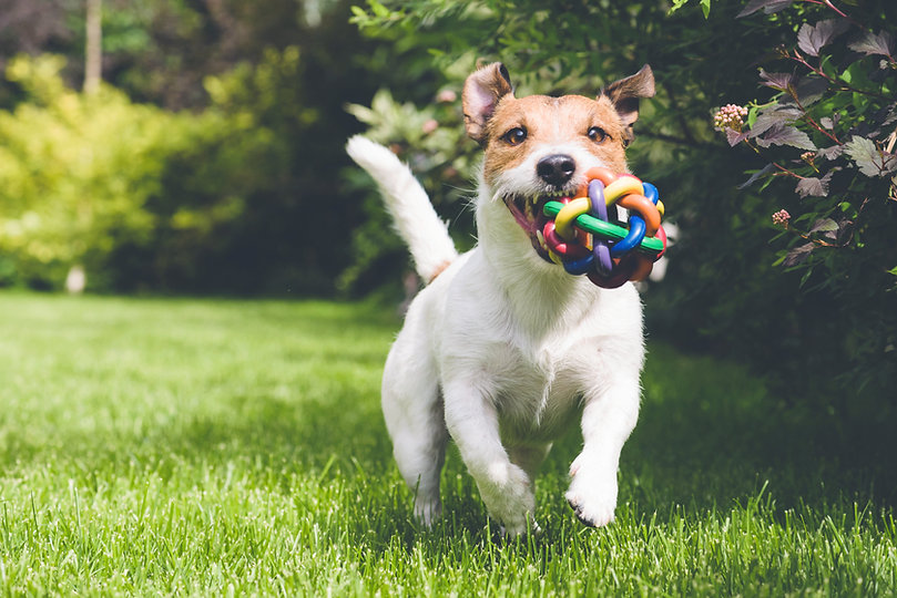 cachorro correndo com brinquedo