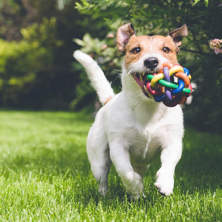 Corgi Race Day - Dog Fun!