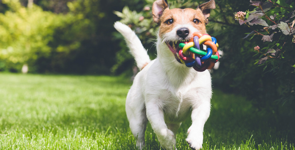 hund kører med legetøj