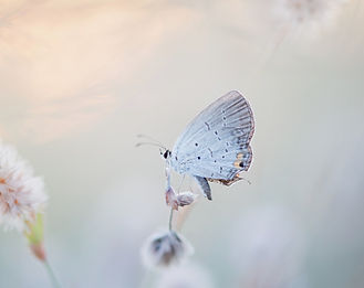 An%2520Eastern%2520Tailed-blue%2520sits%