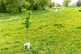 Photo of a tree sapling ready for planting