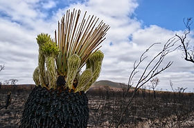 Photo of burnt kingia australis in a burnt landscape but with green shoots