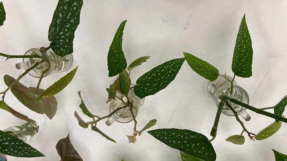 Begonia Maculata (stippenbegonia)