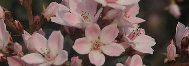 Rose amande Fleurs arbre