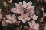 Pink Almond Tree Flowers