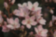 Rosa Mandelbaum Blumen