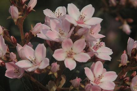 ピンクアーモンドの木の花