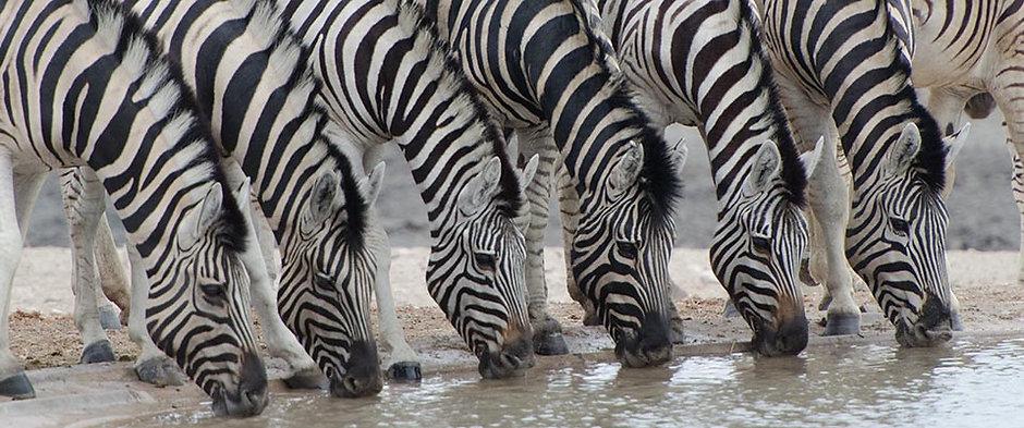 drinking Zebra.jpg