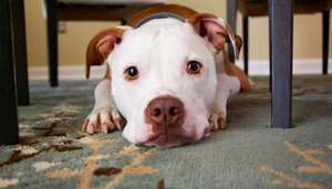 pet stains, statcarpetcleaning.com, carpet cleaning