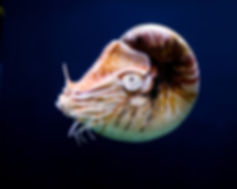 nautilus shell, save the ocean