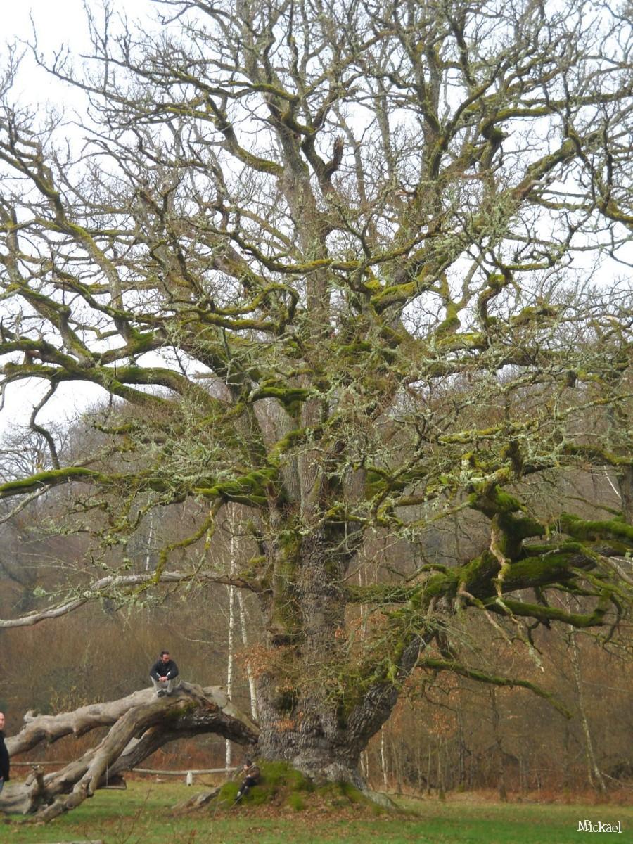 "Quercus robur, ""Chene de Sully"""