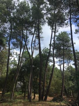 Rémontée de courronne sur des pins maritime avec Rouault élagage