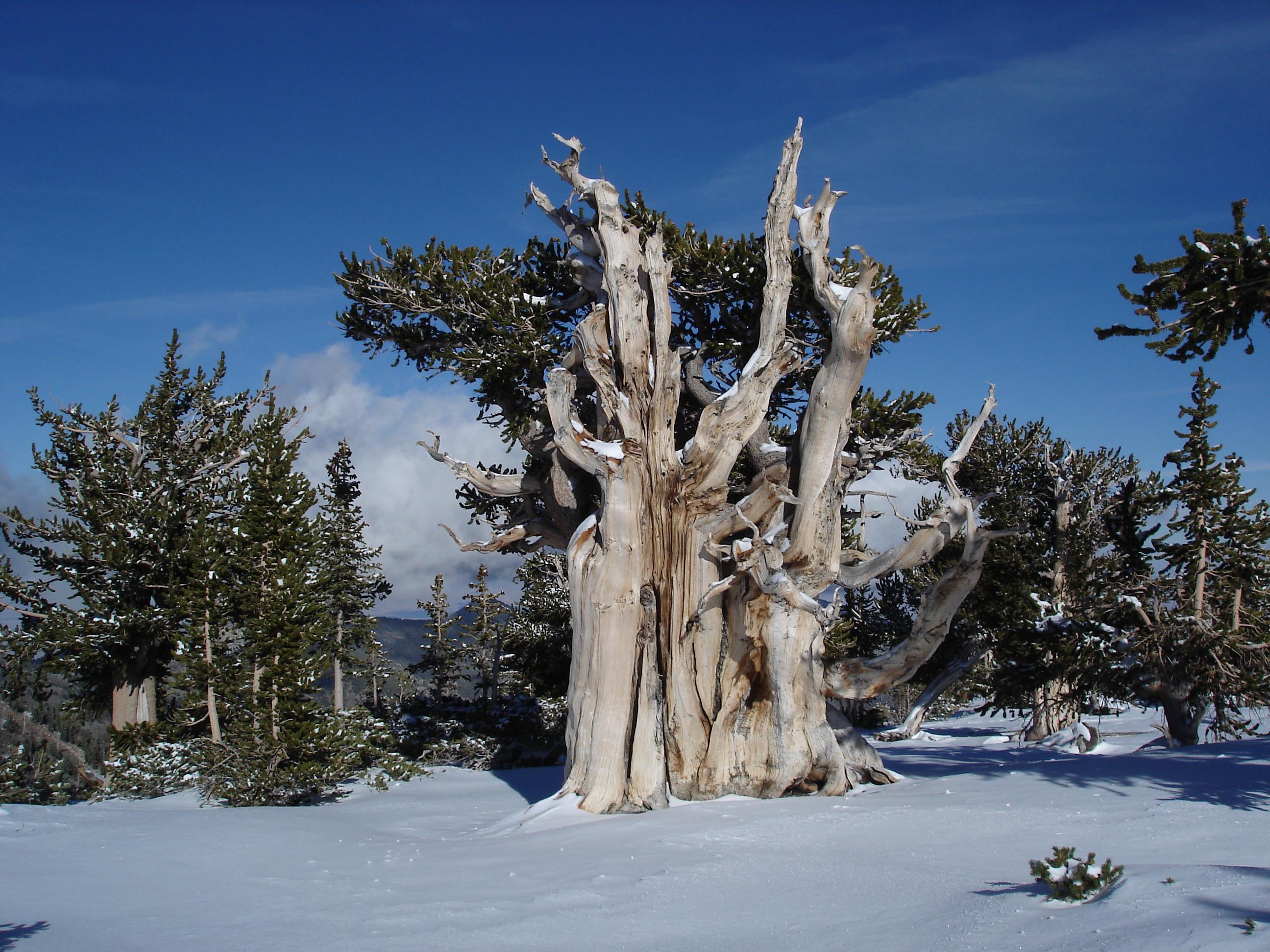 "Pinus longaeva, ""Pin de Bristlecone"""