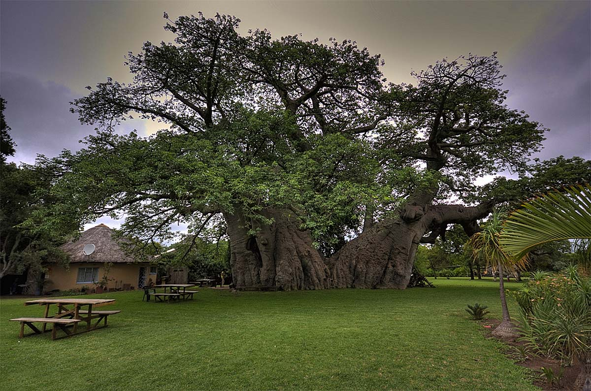 "Andosonia digitata, ""Sunland-Baobab"""